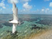 LE Island, Crested Tern